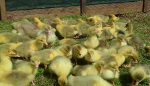 Baby Embden Goslings